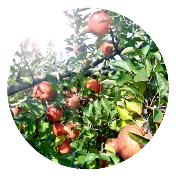 長野県のりんご通販|Su-eat Farm APPLE(スイートファーム・アップル)のこだわり・陽あたり