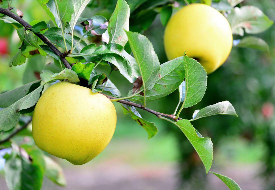 長野県のりんご通販|Su-eat Farm APPLE(スイートファーム・アップル)のこだわり・太陽の光をたっぷりと浴びることで、とびっきりの美味しさを出すため、無袋栽培をしています。