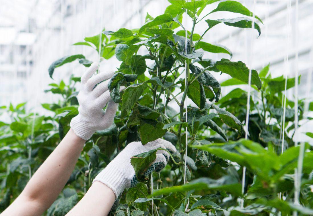 長野県のりんご通販|Su-eat Farm APPLE(スイートファーム・アップル)のこだわり・安心・安全をお届けしたいので減農薬にしています。