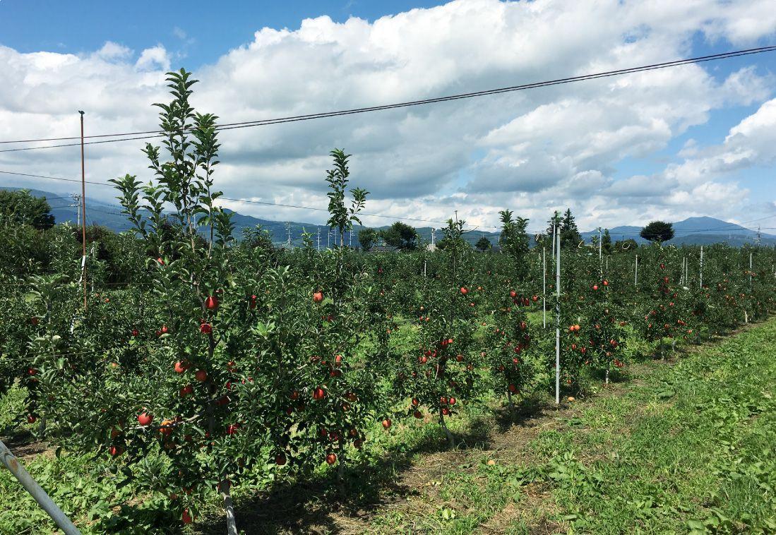 長野県のりんご通販|Su-eat Farm APPLE(スイートファーム・アップル)のこだわり・アミノ酸、乳酸菌、ビタミンを入れて発酵させた液体を木の根元に撒く微生物農法を取り入れています。
