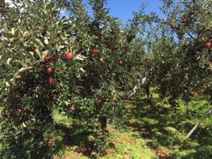 長野県小布施町・産地直送のりんご通販ショップ|Su-eat Farm APPLE(スイートファーム・アップル)|秋映(あきばえ)