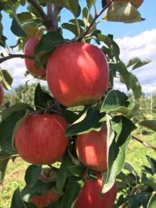 長野県小布施町・産地直送のりんご通販ショップ|Su-eat Farm APPLE(スイートファーム・アップル)|シナノドルチェ