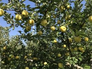 長野県小布施町・産地直送のりんご通販ショップ|Su-eat Farm APPLE(スイートファーム・アップル)|シナノゴールド