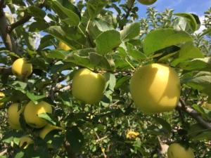 長野県小布施町・産地直送のりんご通販ショップ|Su-eat Farm APPLE(スイートファーム・アップル)|gold5