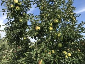 長野県小布施町・産地直送のりんご通販ショップ|Su-eat Farm APPLE(スイートファーム・アップル)|_ぐんま名月(めいげつ)