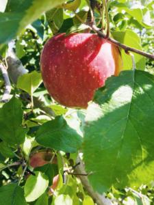 長野県小布施町・産地直送のりんご通販ショップ|Su-eat Farm APPLE(スイートファーム・アップル)|sanhuji_02