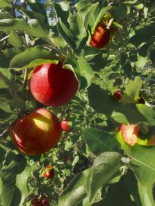 長野県小布施町・産地直送のりんご通販ショップ|Su-eat Farm APPLE(スイートファーム・アップル)|sanhuji_03