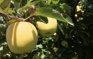 長野県小布施町|産地直送のりんご通販サイトSu-eat Farm APPLE(スイートファームアップル)|shinanogold_01