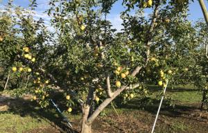 長野県小布施町・産地直送のりんご通販ショップ|Su-eat Farm APPLE(スイートファーム・アップル)|shinanogold_02