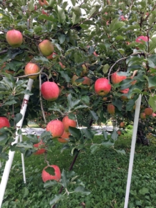 長野県小布施町・産地直送のりんご通販ショップ|Su-eat Farm APPLE(スイートファーム・アップル)|sueat2