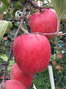 長野県小布施町・産地直送のりんご通販ショップ Su-eat Farm APPLE(スイートファーム・アップル) シナノスイート