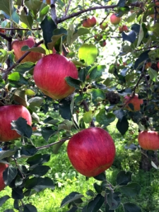 長野県小布施町・産地直送のりんご通販ショップ|Su-eat Farm APPLE(スイートファーム・アップル)|シナノスイート