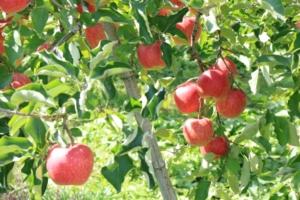 長野県小布施町・産地直送のりんご通販ショップ Su-eat Farm APPLE(スイートファーム・アップル) サンふじ
