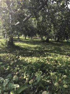 りんごの作業風景