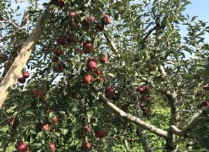長野県小布施町・産地直送のりんご通販ショップ Su-eat Farm APPLE(スイートファーム・アップル) 紅玉(こうぎょく)