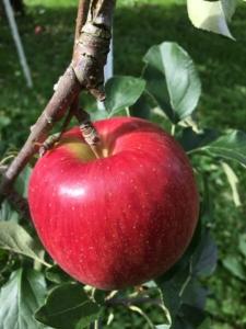長野県小布施町・産地直送のりんご通販ショップ|Su-eat Farm APPLE(スイートファーム・アップル)|紅玉(こうぎょく)