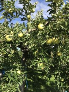 長野県小布施町・産地直送のりんご通販ショップ|Su-eat Farm APPLE(スイートファーム・アップル)|王林(おうりん)