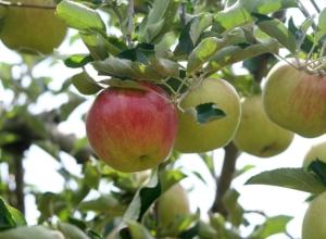 長野県小布施町・産地直送のりんご通販ショップ|Su-eat Farm APPLE(スイートファーム・アップル)|つがる
