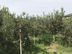 りんごの詰め放題を 取引先 ホームセンター アグロで