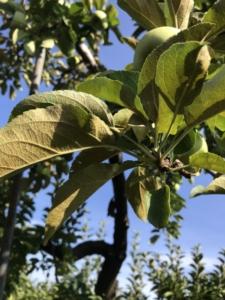 りんご ダニ が発生