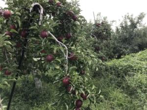 秋映 りんごの 木