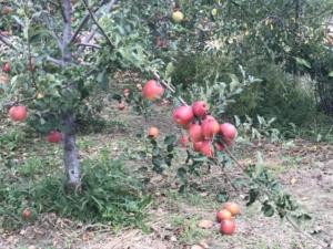 りんごが 枝に こんなに 付いている
