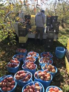 りんご ふじ 作業してます