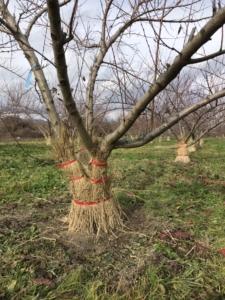 桃の木に 凍害対策でワラを
